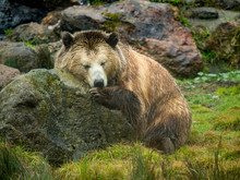 Grizzly Bear Rest On Rock