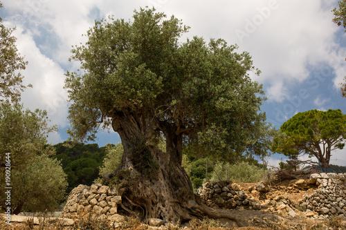 Olivenbaum in Alarò auf Mallorca