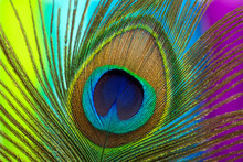 Peacock Color Feather