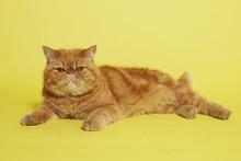Orange Persian Cat On Yellow