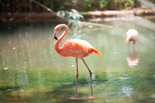 Pink Flamingos In The Zoo Of Barcelona, Spain