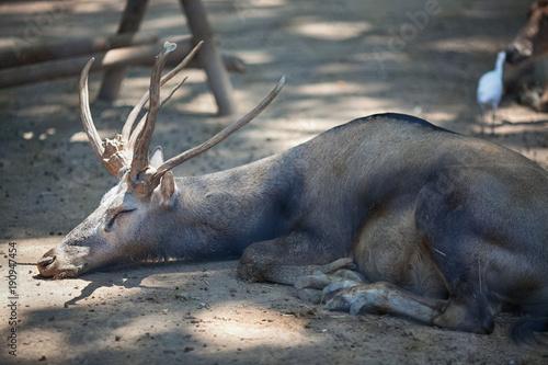 Sleeping deer at the zoo in Barcelona, Spain Canvas Print