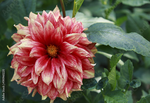 Fotografie, Obraz  Bright  Dahlia Flower in the garden on a sunny day