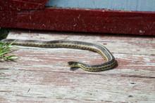 Striped Garter Snake Sun Bathing