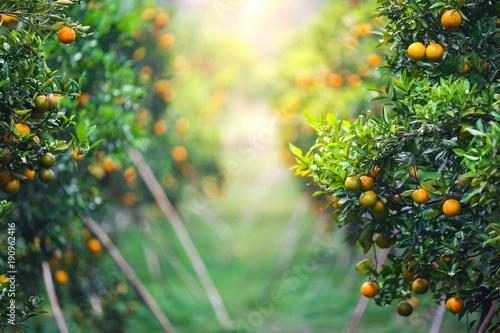 Obraz na plátně ripe oranges fruit hanging on tree in orange plantation garden