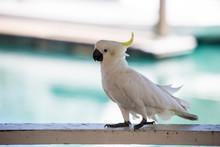 Sulphur Crested Cockatoo Walki...
