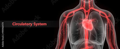 Fotografie, Tablou Human Circulatory System Anatomy