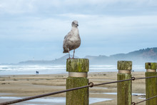 Seagull Sitting On Piling With...