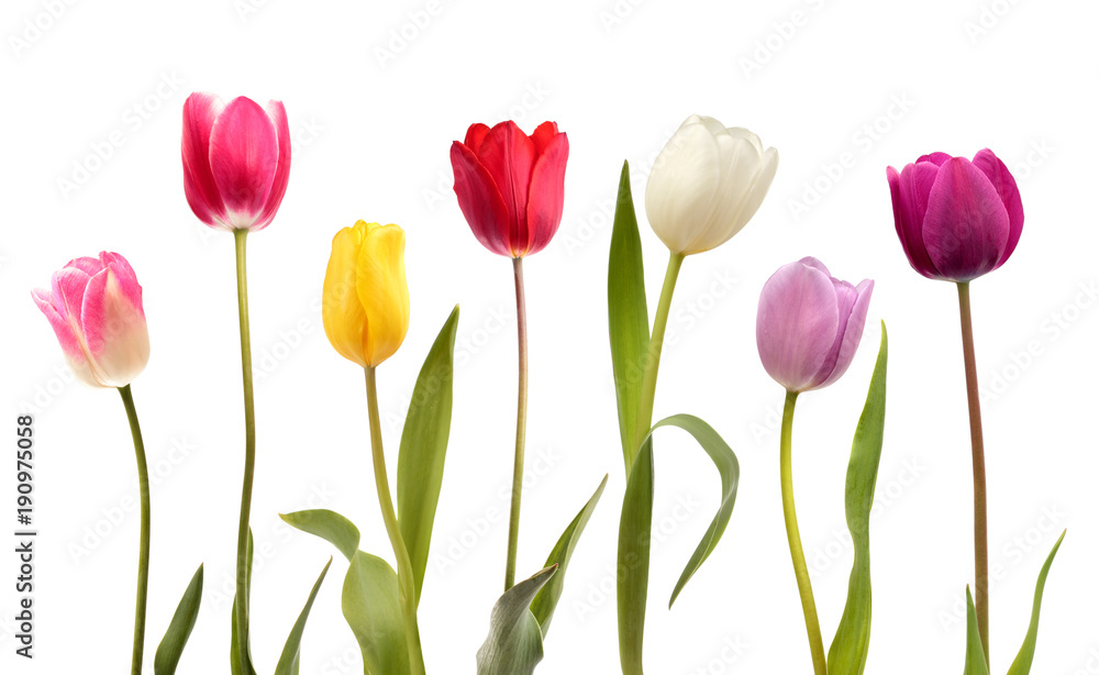 Set of seven different color tulip flowers