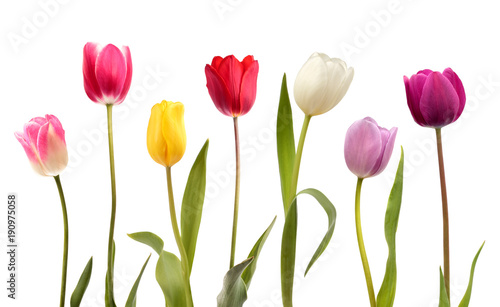 Fotografie, Obraz  Set of seven different color tulip flowers