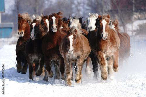 Obraz Koński bieg na śnieżnym polu - fototapety do salonu
