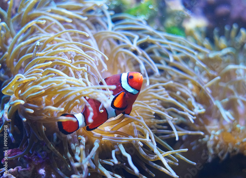 In de dag Onder water Red clown fish in the coral reef
