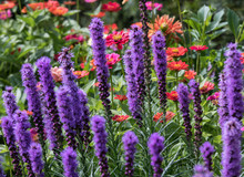 Liatris Spicata Flowers In The...
