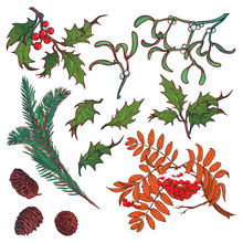 Hand Drawn Branches And Leaves Of Temperate Forest Trees. Winter Colored Floral Set Isolated On White Background. Mistletoe, Rowanberry, Holly, Fir Tree, Cones And Berries. EPS10 Vector Illustration