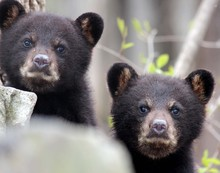 Two Little Black Bear Cub Faces Peaking At Me From Behind Rocks