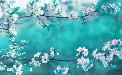 Obraz na SzkleBeautiful spring floral background with branches of blossoming cherry, soft focus. Frame of pink sakura flowers in spring close-up macro on a turquoise background outdoors in nature.