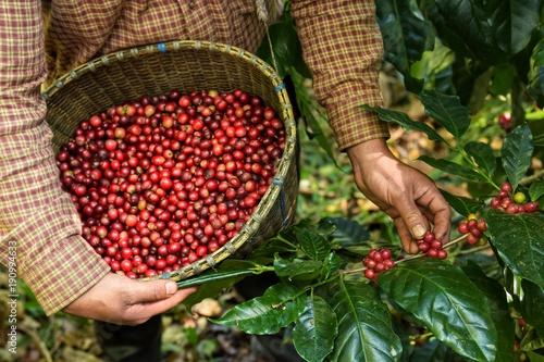 Fototapeta Zbieranie świeżych owoców kawy do kosza do pokoju