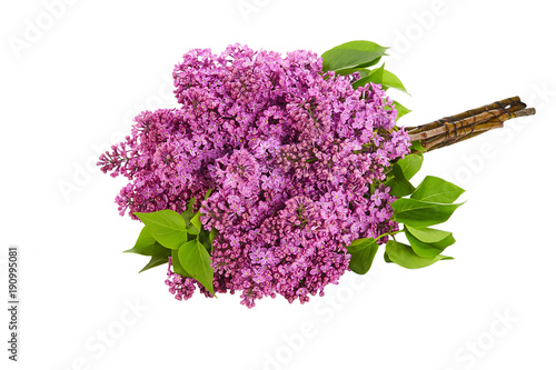 Foto op Canvas Lilac lilac flower on white background isolated
