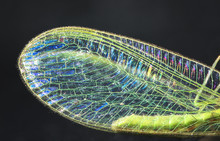 The Wing Of A Common Green Lacewing (Chrysoperla Carnea) Up Close, Showing Strong Iridescence.