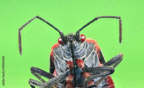 Fotografie, Obraz  A boxelder bug (Boisea trivittata), commonly known as a stinkbug.