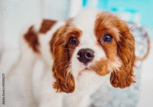 Fotomural Charming Cavalier King Charles Spaniel puppy stands before blue door