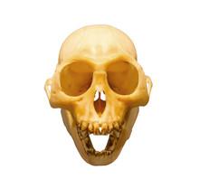Monkey Skull Isolated