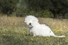 Mały, Biały Pies, Coton De T...