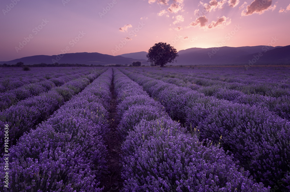 Lavender fields. Beautiful image of lavender field. Summer sunset landscape, contrasting colors. Dark clouds, dramatic sunset.