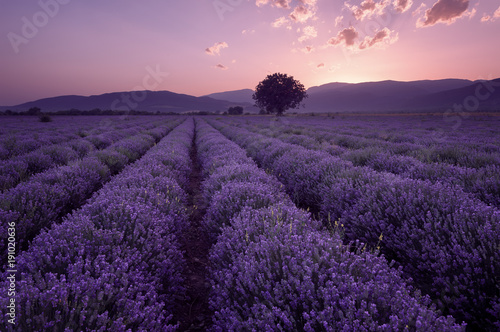Fototapety, obrazy: Lavender fields. Beautiful image of lavender field. Summer sunset landscape, contrasting colors. Dark clouds, dramatic sunset.