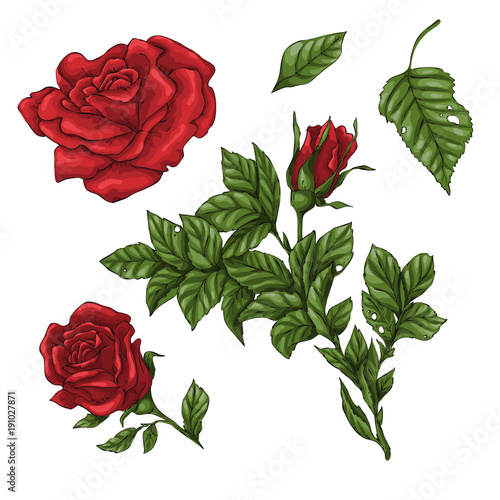 Set of red rose flower, bud and leaves. Isolated on white vector illustration © Yuliya