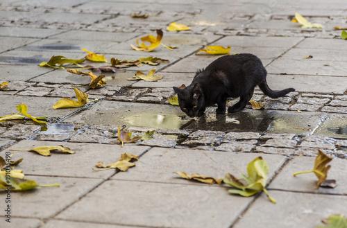 Staande foto Buffel black street kitten drinks the species of pudding in autumn. urban cat drinking water along fallen yellow leaves.