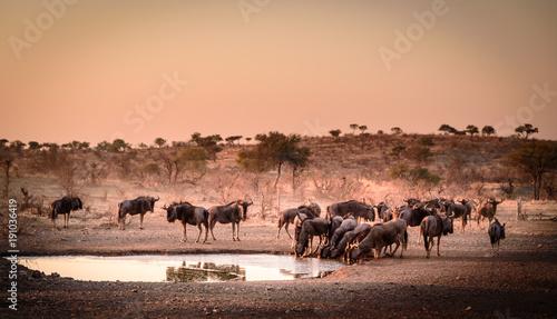 Türaufkleber Afrika Aufnahme einer Herde Gnus (Blue Wildebeest) an einer Wasserstelle in der Dämmerung