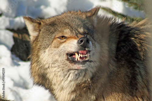 Photo  Snarling Wolf