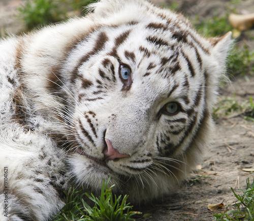 Canvas Prints Tiger Portret zwart-witte tijger met mooie blauwe ogen