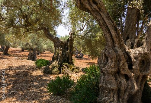 drzewo-oliwne-na-majorce