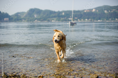 Fényképezés golden retriever dog bathes in Lake Maggiore, Angera, Lombardy, Italy