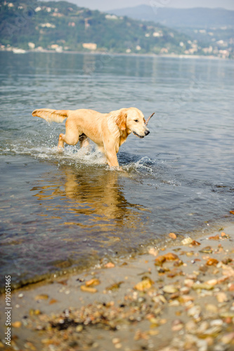 Fotografija  golden retriever dog bathes in Lake Maggiore, Angera, Lombardy, Italy