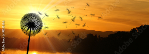 Schöne Pusteblume beim Sonnenuntergang
