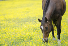 Yellow Field And Horse Eating