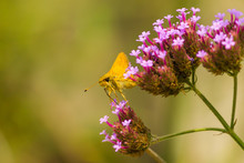 Delaware Skipper Butterfly On See-through Verbena