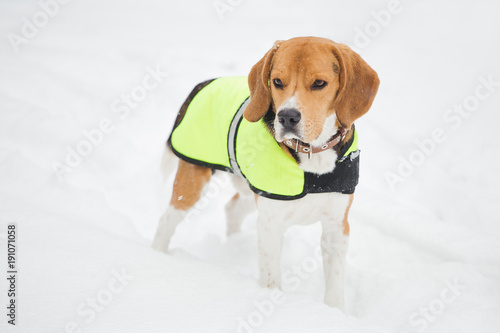 Fotografie, Obraz  Closeup portrait of young beagle puppy isolated on white fresh snow outdoors