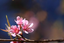 Blooming Pink Prunus Cerasoides Flowers On Dark Blue And Blur Pink Flowers Background At Khao Kho, Phetchabun, Thailand. Like Blooming Pink Sakura Flowers. Have Copy Space For Put Text.
