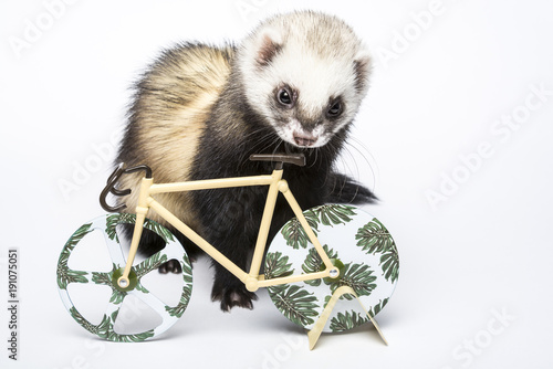 Valokuva  Cute domestic ferret looking at decorative bicycle
