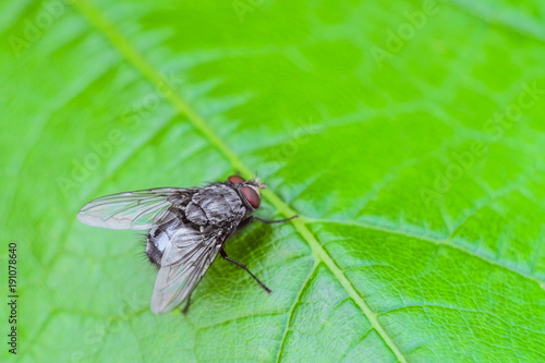 Silvery gray fly insect on the green grape leaf close-up. Natural background with selective focus