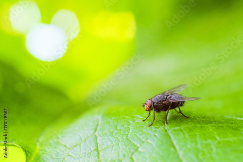 Gray fly insect on the green grape leaf in nature close-up. Bright natural background with selective focus.