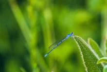 Anamorphic Blue Dragonfly Arro...