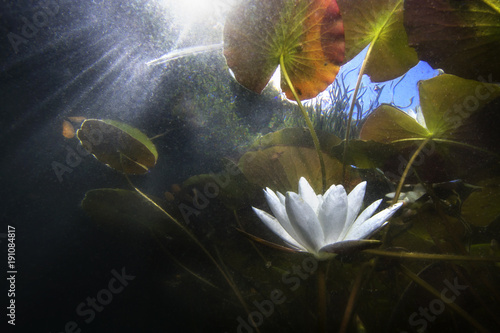 Poster Waterlelies Beautiful white Water lily (nuphar lutea) in the clear pound. Underwater shot in the lake. Nature habitat. Underwater landscape.A stack of water lilys seen from underwater.