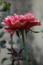 Rosa Vermelha Em Processo De Envelhecimento