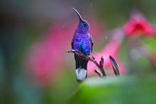 Glittering Blue, Hummingbird, ...