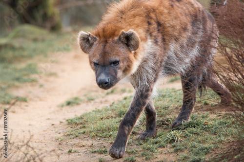 Staande foto Hyena Hyäne (Hyaenidae, Carnivora)